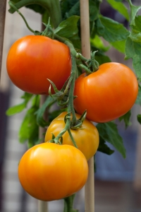 Tomato 'Persimmon', grown by MIchael Connolly at Rolestown Garden Centre © Jane Powers