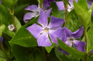 Vinca major © Jane Powers