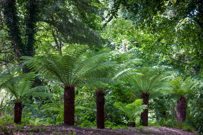 Tree ferns (Dicksonia antarctica) at Malahide Castle © Jonathan Hession