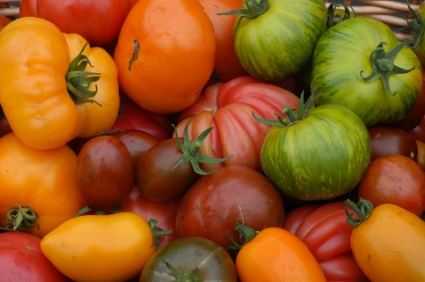 Tomato harvest1YT.jpg